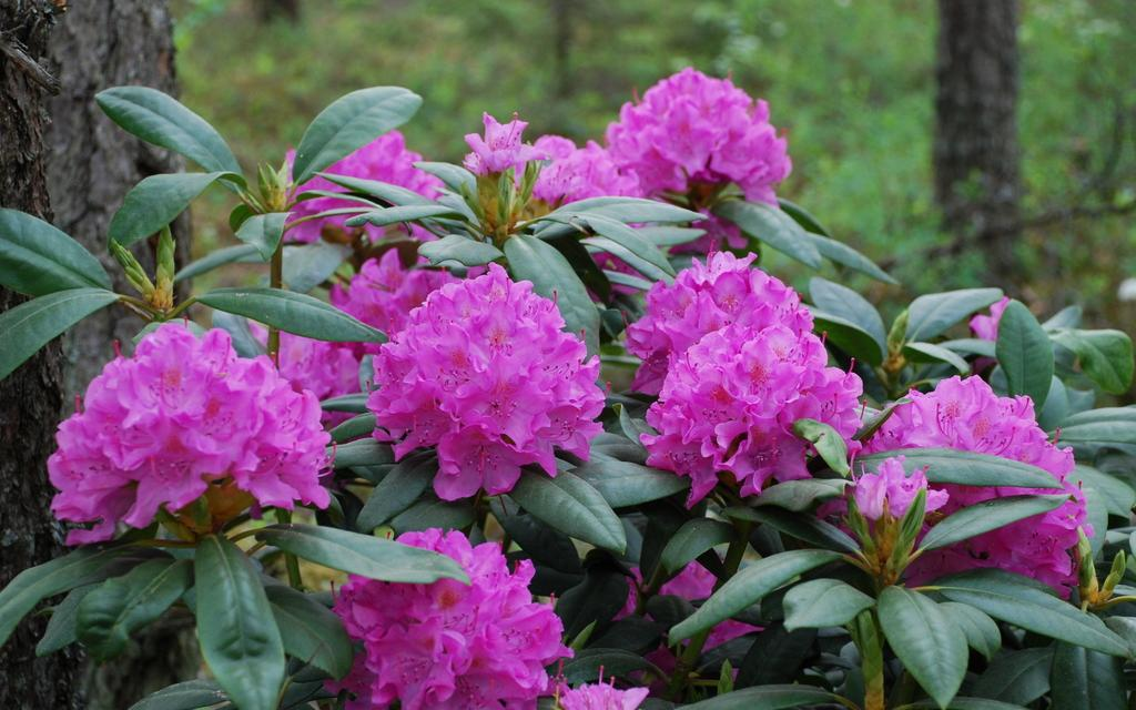RHODODENDRON- Rhododendron chrysanthum- Havasszépe