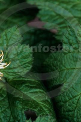 HYDRASTIS, Hydrastis canadensis- Kanadai gyömbér